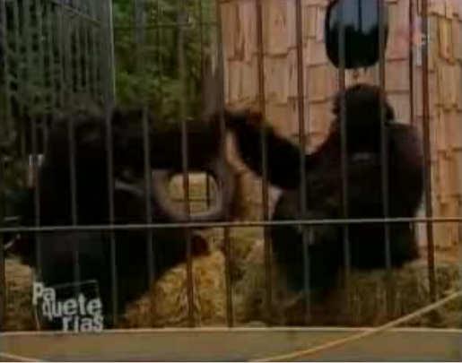 broma gorilas camara oculta dinero billete