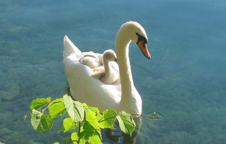 cisne imagen