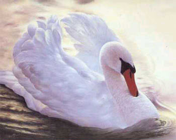 cisne swan