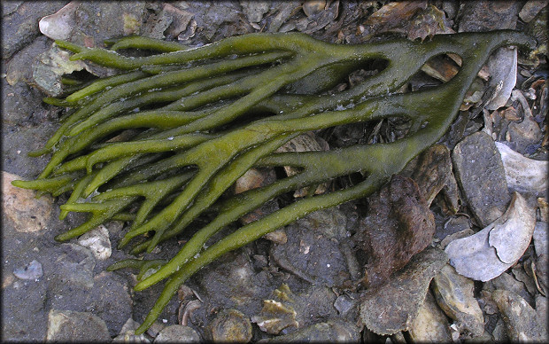 codium-fragile-green-fleece-alga-dead-man-s-fingers