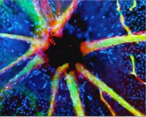 cuerpo-humano-microscopio-vasos-sanguineos-oido