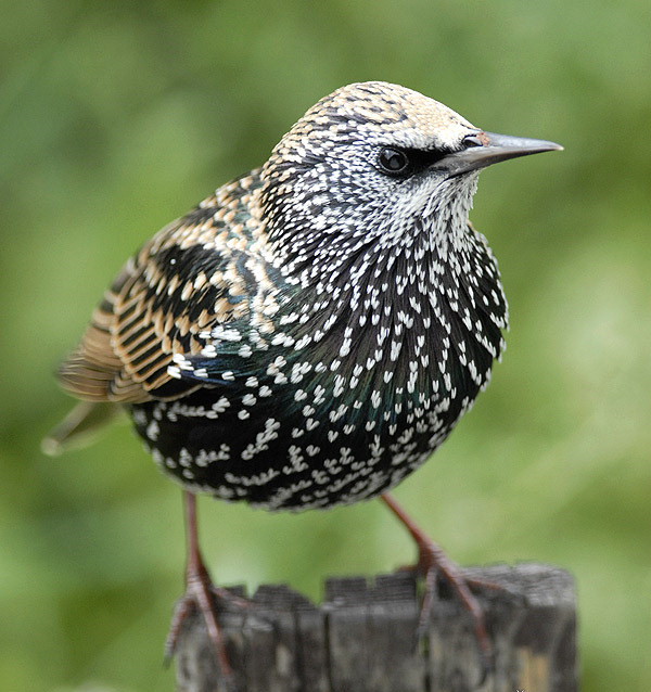 Sturnus vulgaris estornino