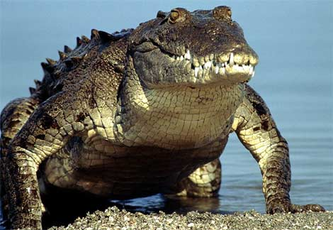 animal oviparo cocodrilo crocodile