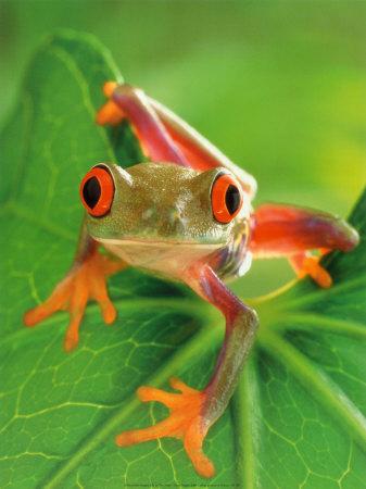 animal oviparo frog rana