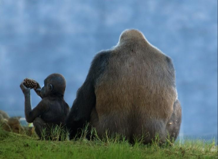 animales-bonitos-gorilas