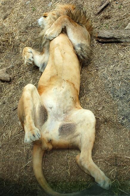animales-bonitos-leones