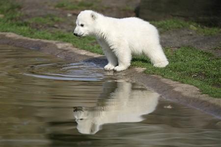 animales-bonitos-osito-polar