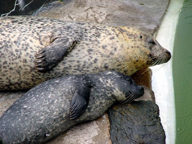 animales cachorros foca madre hijo