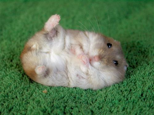 animales cachorros hamster