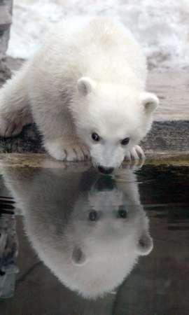 animales cachorros osito polar