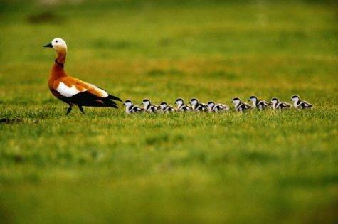 animales cachorros pato madre patitos