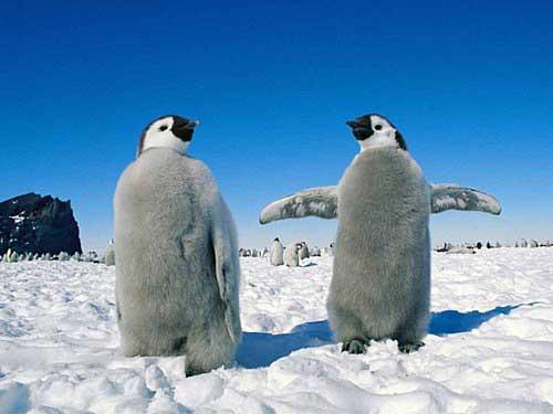animales cachorros pinguinos