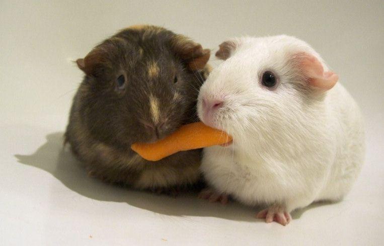 animales-graciosos-cobayas