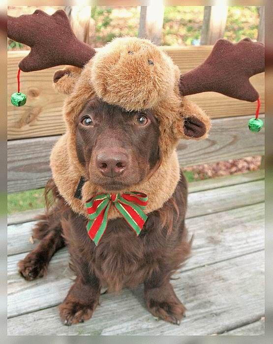 animales-graciosos-perro-disfraz-reno