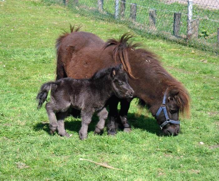 animales-graciosos-ponys