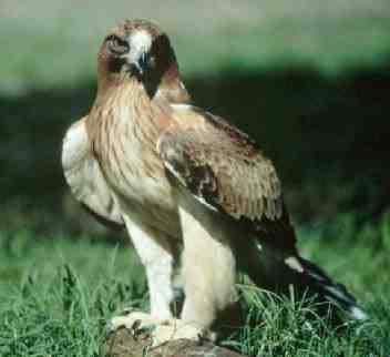 animales-oviparos-aguila-real