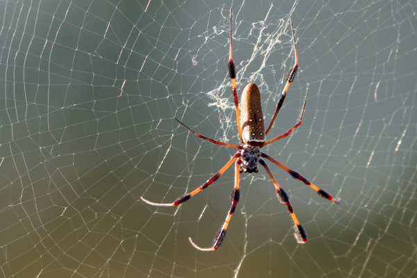 arana spider telarana hilo