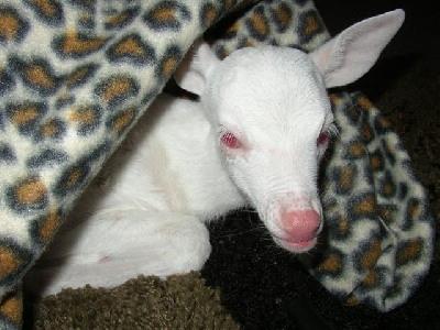 cervatillo-albino