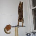 gato-equilibrista-jumping-cat