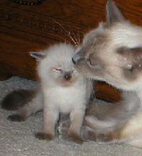 gato-siames-cat-lamiendo