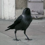 grajilla corvus monedula cuervo