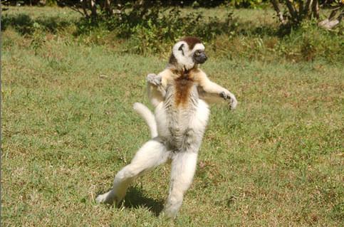 lemur bailando andando