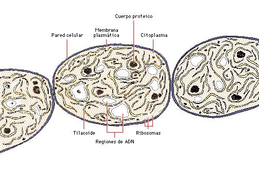moneras-celulas-procariota