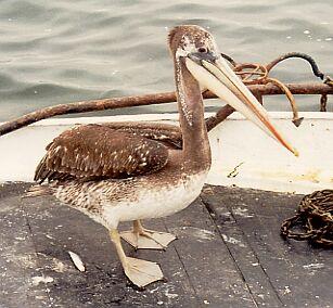 paracas-pelicano-peruano