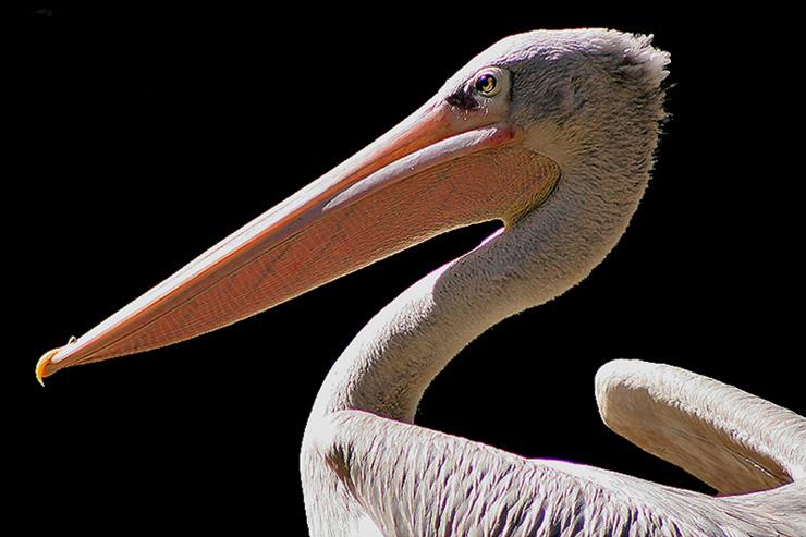 pelicano-imagen-foto