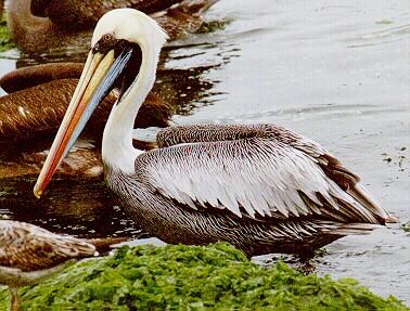 pelicano-pelicanos-pardo