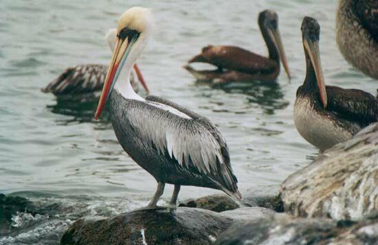 pelicanos-tabini-aves