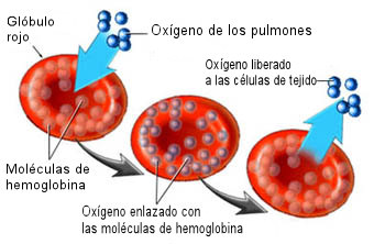 sangre-hemoglobina-oxigeno-hierro