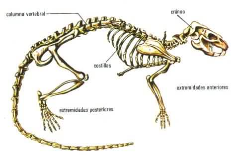 vertebrados-esqueleto-esquema