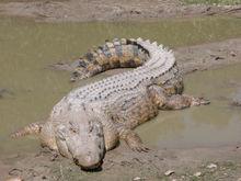vertebrados-saltwater-crocodile-cocodrilo
