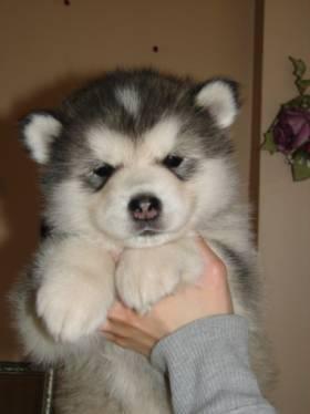 alaskan-malamute-blush-bella-5-semanas-perro