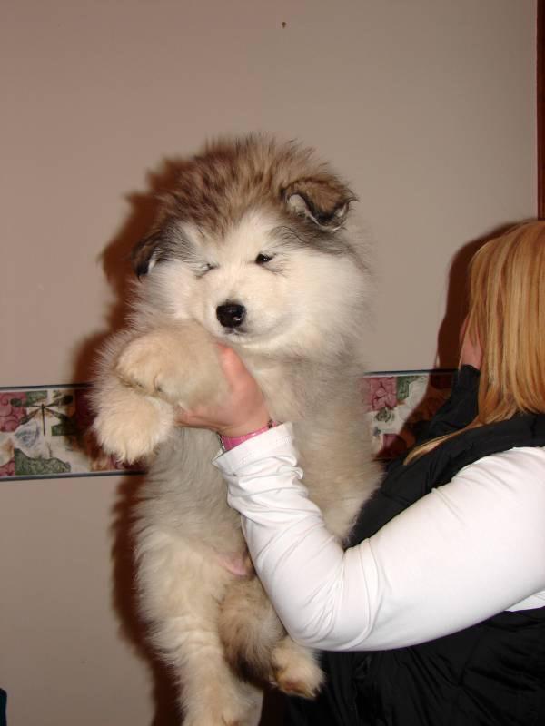 alaskan-malamute-lazer-8-semanas-perro