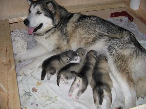 alaskan-malamute-perritos comiendo