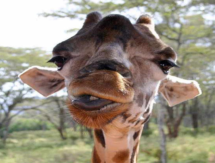 animales-graciosos-jirafa-drogada