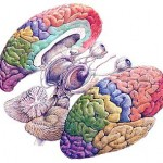 cerebro-dibujo