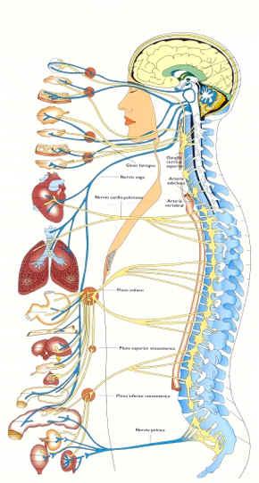 cerebro-dibujo-sistema-nervioso