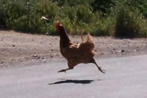 chicken_road pollo carretera cruzo