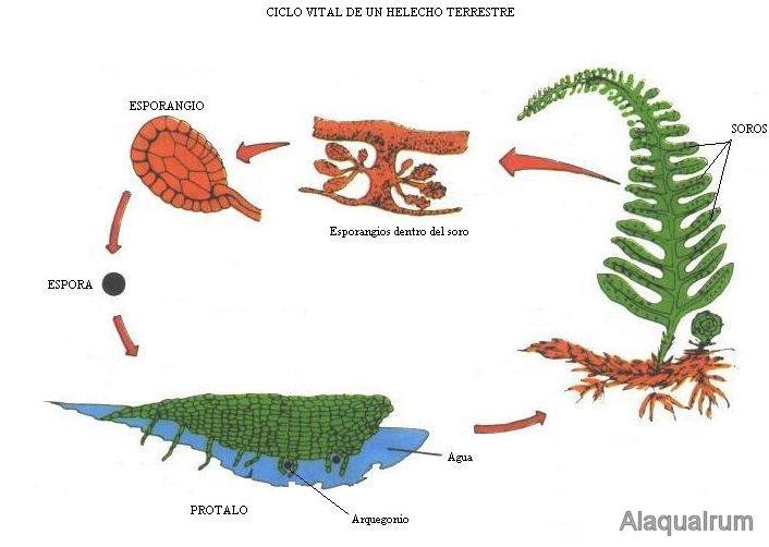 helechos-reproduccion-alternancia-generaciones