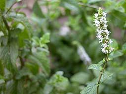 hierbabuena foto planta