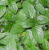 hierbabuena planta verde hojas