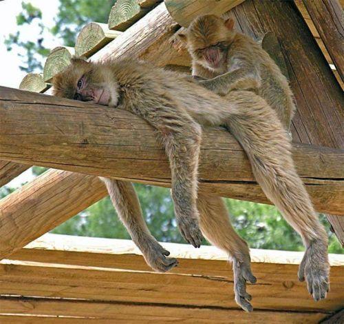 imagenes-humor-animales-monos-masajes