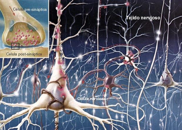 neuronas-cerebro-axones-conexiones