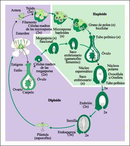 reproduccion-semillas-plantas-ciclo