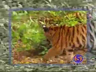video mono tigres jugando humor