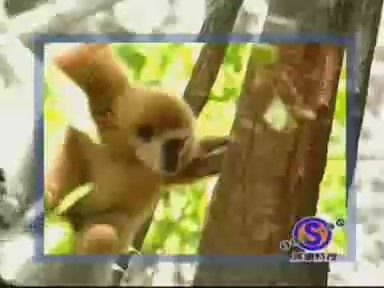 video mono tigres jugando risa