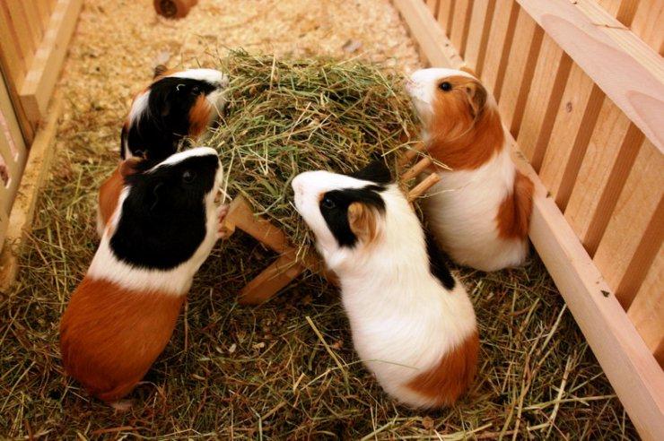animales-humor-cobayas